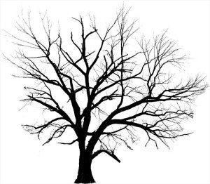 Native American Elm