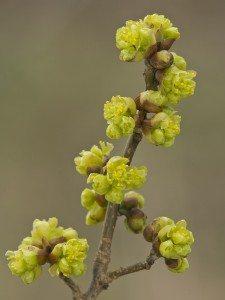 Spice Bush or Spicebush (Lindera benzoin) Ottawa County, MI